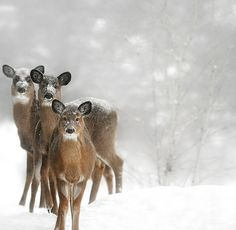 deer in snow. Beautiful.