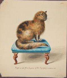 Drawing, a Persian tabby cat (Felis catus). George Edwards, 1709-1773.
