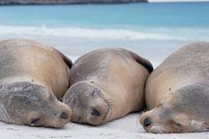 Image: Galapagos Sea Lion (Zalophus californianus wollebaeki) trio resting on a beach, Galapagos Islands, Ecuador (© Michio Hoshino/Minden Pictures/Getty Images)
