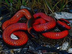 Diadophis punctatus pulchellus - Coral-bellied Ring-necked Snake by vabbley, via Flickr