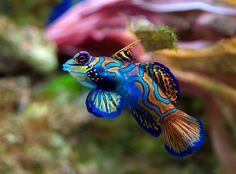 Mandarinfish (Synchiropus splendidus) by Luc Viatour: To date, S. splendidus is one of only two vertebrate species known to have blue colouring because of cellular pigment, the other being the closely related psychedelic mandarin (S. picturatus).   wikipedia #Fish