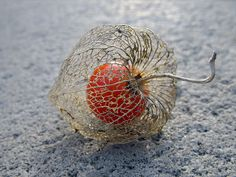 Physalis alkekengi, or the Chinese/Japanese Lantern, blooms during Winter and dries during Spring. Once it is dried, the bright red fruit is seen.