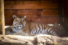 Tiger Freed From 'Worst Zoo In World' Loves Life Outside A Cage