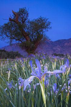 Irises Bishop, California !!!