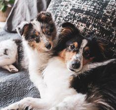 Shetland Sheepdog, Sheltie, Husky, Pets, Animals, Animales, Animaux, Animal, Animais