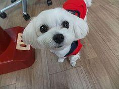 un poodle adorable, mira esos ojos