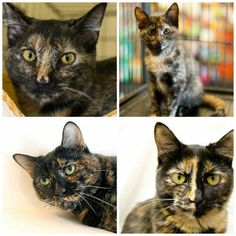 June is Adopt-a-Cat Month: Adopt a Tortie!