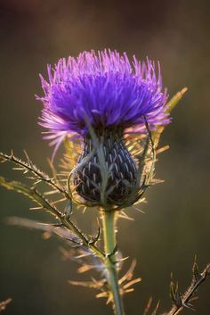 "Bull Thistle by Jim Crotty"" by Jim Crotty I LOVE THISTLES! they are so beautiful and so spikey, I like the spikes less.I LOVE THISTLES! they are so beautiful and so spikey, I like the spikes less. Purple Flowers, Wild Flowers, Exotic Flowers, Yellow Roses, Pink Roses, Arrangements Ikebana, Arte Floral, Flower Power, Planting Flowers"
