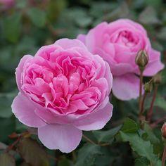 ~'Maid Marion' David Austin Roses