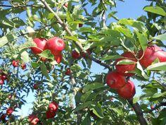 Manual de vermicompostaje. Cómo hacer vermicomposteras y humus de lombriz. Guía práctica - Plantar, Apple, Fruit, Food, Canvas, Growing Vegetables, Perennials, Shrubs, Apple Fruit