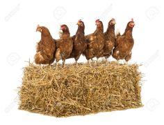 Afbeeldingsresultaat voor kippen op een rij