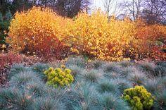 Dogwood midwinter fire and ornamental grasses including Elijah Blue. Norfolk