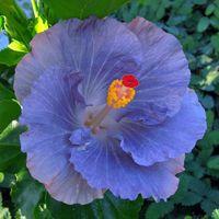 Taiwan Hibiscus - Linda Lee Name Origins, Blue Hibiscus, Garden Plants, Beautiful Flowers, Exotic, Clip Art, Birds, Tropical Flowers, Taiwan