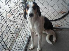 CODE RED! STRAY HOLD EXPIRES 1/5/14 - URGENT  FANCY is a beautiful young female Hound mix that was left in the drop kennel. This girl is a doll! FANCY is located at Wakulla County Animal Control in Crawfordville, FL. To rescue or adopt, please email cauzicanfl@gmail.com https://www.facebook.com/photo.php?fbid=592274174182301&set=a.497716376971415.1073741861.481195381956848&type=3&theater