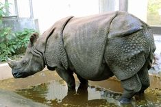 helps pad the rhino digs To help save the rhino from extinction, a young keeper at Kanazawa Zoo is striving to make the captive environment for the mammals as close .Help Help may refer to: Kanazawa, Types Of Animals, Cute Animals, Wild Animals, Tiger Attack, Save The Rhino, Photo Animaliere, Alien Concept Art, Dangerous Animals
