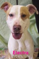 Electra is an adoptable Pit Bull Terrier Dog in Utica, NY. Please come visit me at the Stevens-Swan Humane Society or call to find out about me at 738-4357....