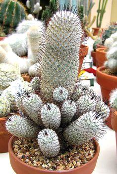 Foto: Mammillaria, Group, 2008. Mammillaria perezdelarosae.