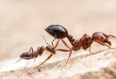 Злейшие в мире муравьи «Аргентинские муравьи / Linepithema humile». Фото №9