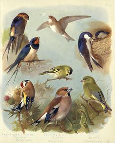 Goldfinch, Greenfinch, Swallow, Martin