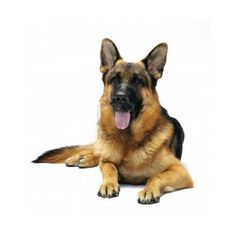 German Shepherd ❤ liked on Polyvore featuring animals, dogs and pet
