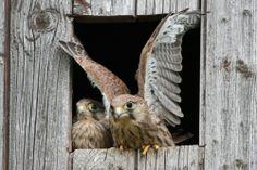 Vögel als hochspezialisierte, gefiederte Wirbeltiere Vogelkunde (Foto: Scheel, Scharstorf ) : Junger Turmfalke bei der Flugübung)