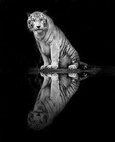 White Bengal Tiger - Singapore 2010
