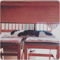 🐾 椅子2つ使いで伸びきってる💤 ・ #開放中 #のびのび #熟睡 #スコティッシュフォールド #スコ #スコ部 #猫 #ねこ #愛猫 #くぅ #ペット #にゃんこ #scottishfold #cat #neko  #pet #kitty #catstagram #nekostagram #petstagram #instacat #lovecat #tomcat #스코티시폴더 #고양이 #애완동물