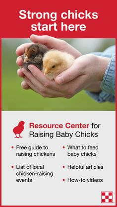 The Purina® #ChickStrong resource center provides all the information you need to start raising chickens – and start your chicks strong. Visit this page to learn: Where to buy chickens, tips on how to raise chickens and information on what to feed baby chicks.