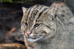 Endangered primates and cats may be hiding out in swamps and mangrove forests » Focusing on Wildlife Asian fishing cat