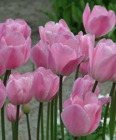 Triumph Tulip Rosalie--A ravishing sport of Don Quichotte, Rosalie is a deicate, pale phlox-pink enchantress with darker rose-pink highlights and an interior yellow base.