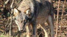Veri aMICI: Alt al piano per sparare ai lupi: le Regioni ottengono il rinvio