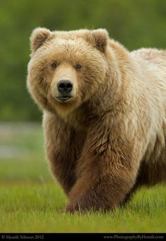 Grizzly ... a powerful beauty
