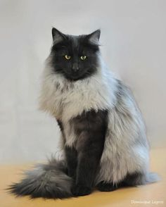 Black Smoke Norwegian Forest Cat. Thought it was Photoshopped the first time I saw one, but see here:: http://www.pinterest.com/pin/38702878021746232/
