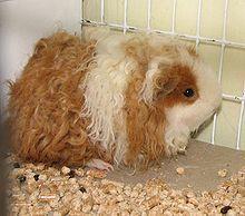 Marguerite, le cochon d'Inde