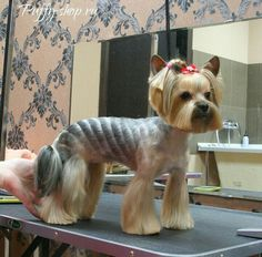 Possible cat haircut. This is obviously a yorkie. -ivy