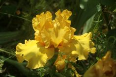 Iris (Iris 'Bold Gold') uploaded by CLUSIANA