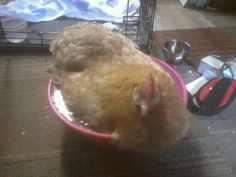 What to do with an egg-bound hen~What you need to know NOW, in case you are faced with this situation.