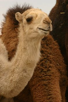 I've been here and rose a camel. My family on my dads side lives here. Saudi arabia camel market riyadh