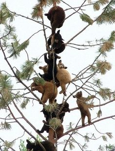 Bear cubs in a tree
