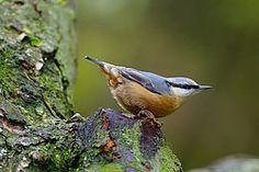 Vroege Vogels: Tip: lok boomklever en grote bonte