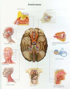 Cranial and spinal nerves - The Anatomy Wiki
