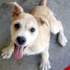 I'm a scruffly-cute #Terrier #puppy who loves to play and frolic! I am playful and inquisitive and will make a great pet for a family with kids. Come and meet me in #SanDiego!