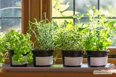 Despite the fact that growing herbs indoors is popular, they can be challenging to maintain. Here's a guide for growing herbs indoors. Culture D'herbes, La Germination, Growing Herbs Indoors, Growing Vegetables, Vegetables Garden, Herbs Garden, Lush Garden, Edible Garden, Tropical Garden