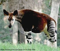 This unusual animal from the Ituri rainforest of Africa looks like it is kin to a zebra, but it is actually a relative of the giraffe. The Okapi has a prehensile tongue like the giraffe for stripping leaves from the underbrush, has great hearing, and is very wary of humans.