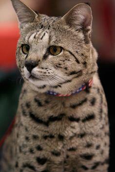 Savannah cat | Top 15 most cutest cat breeds