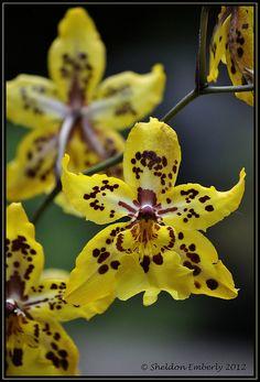Yellow Ondontoglossum orchid