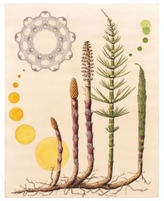 "Horsetail Fern as Plant Dye, <em>Equisetum arvense</em> Northwestern Native Americans often used horsetail ferns to dye baskets. The plant produces soft green and bright yellow dyes. 14"" x 16"" 