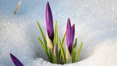 цветы, весна, снег