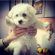 Romeo da cucciolo stupendo maltesino doggy