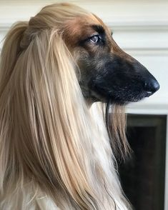 Sweet Dogs, Cute Dogs, Beautiful Dogs, Animals Beautiful, Scary Dogs, Dog Selfie, Afghan Hound, Dog Grooming, Dog Pictures